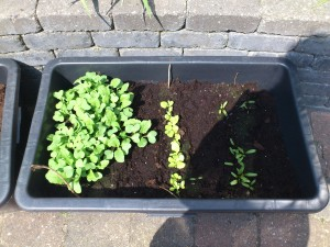 Radisser, salat og rødbeder