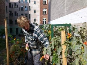 Mads med tomaterne på taget af skraldeskuret