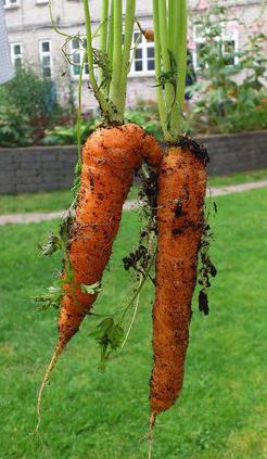 Gulerødder beskåret