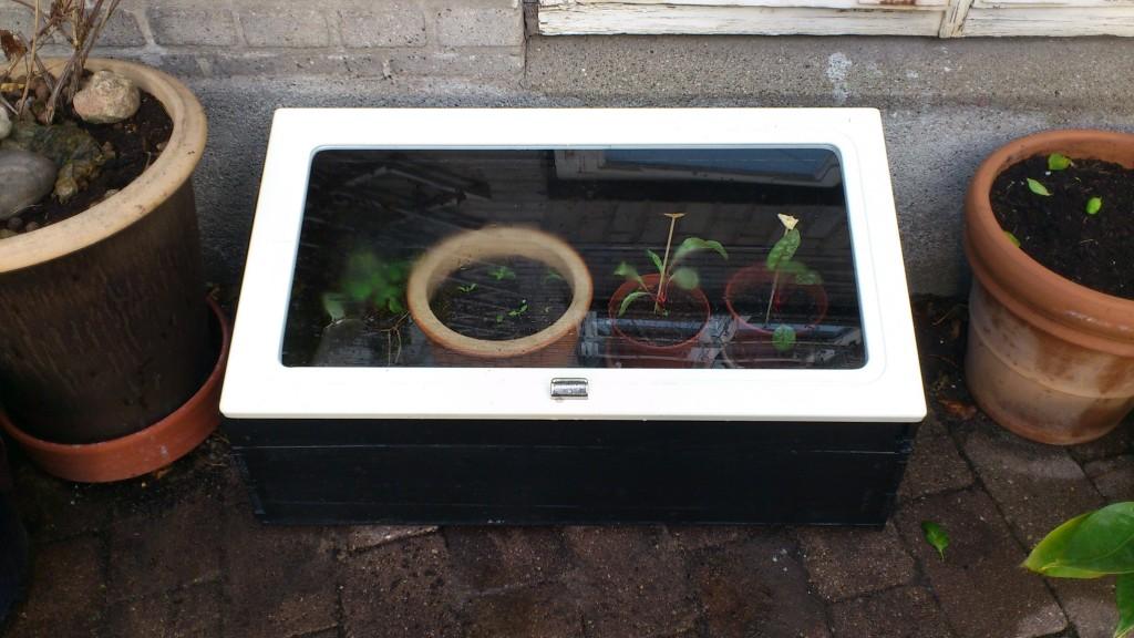 Til sidst en omgang sort maling og et brugt vindue lagt løst ovenpå og så er mistbænken klar til at beskytte bl.a. spinat, bladbeder og feldsalat mod frost.