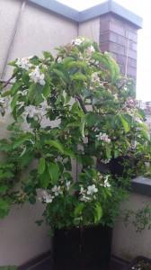 Næsten afblomstret, men man kan stadig ane hvor fint det var for en uge siden: Hannahs æbletræ