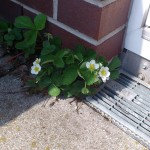 Enkelte jordbærplanter er taget på springtur ud af murebaljerne