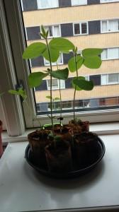 Sojabønner klar til at plante ud så snart vejret tillader det