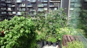 """""""Tomatvæggen"""" hvor tomaterne læner sig op ad havehegn. Foran til venstre er det de frodige kartoffeltoppe."""