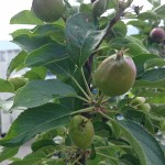 Selv efter udtynding er der udsigt til en god æblehøst.
