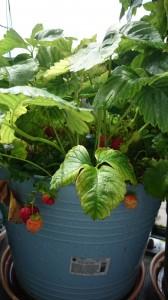 Masser af modne jordbær på altanen.