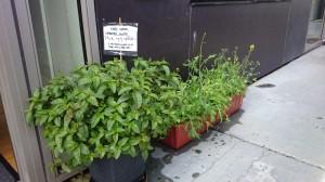 Krydderurter og salat ved hoveddøren til fri afbenyttelse.