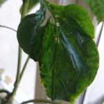 Krøllet og misdannet peberblad