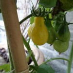 Yellow pear 2