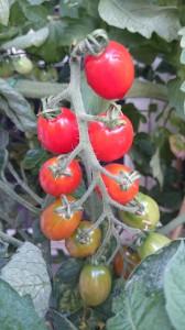 Tomater på gren lidt tidligere på sæsonen