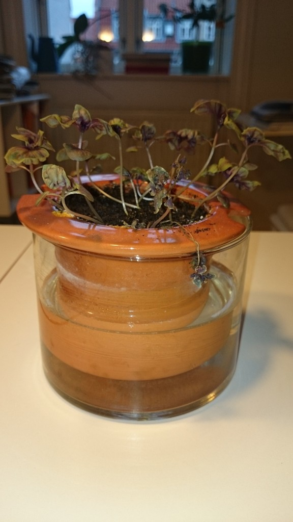 Sådan går det når jeg forsøger at dyrke basilikum.
