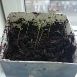 De spirede gulerodsfrø kunne vældig godt lide at komme over i lidt jord.
