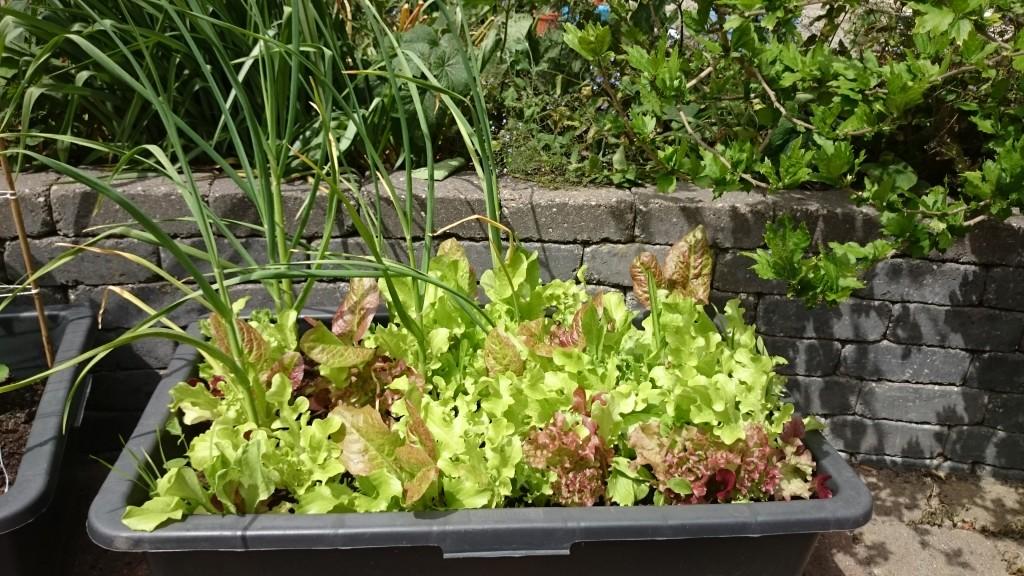 Salat og hvidløg i frugtbar sammenplantning.
