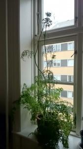 Den skøre gulerod i vindueskarmen
