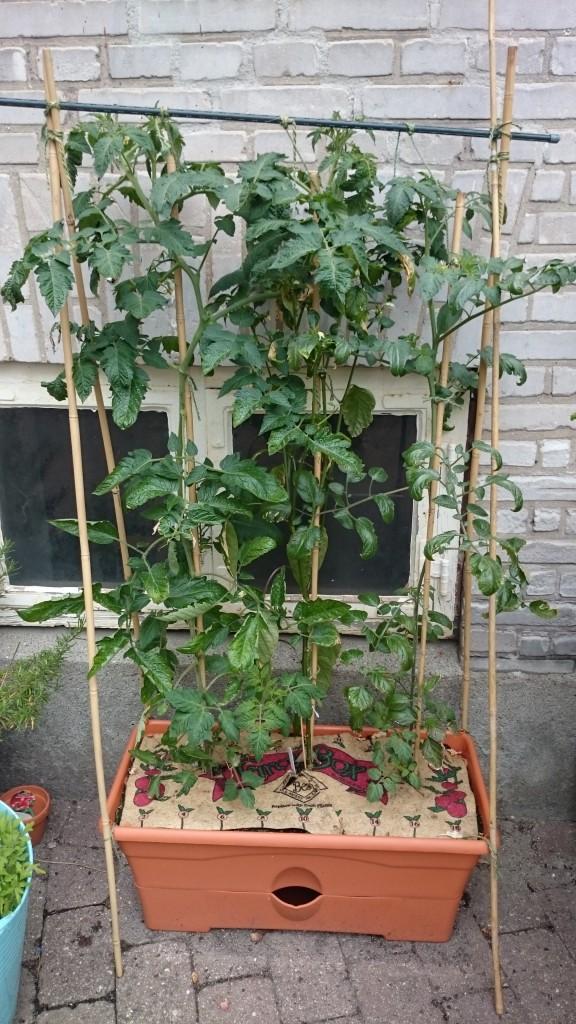 """To tomater og en peber i en såkaldt """"grow box"""" - som i bund og grund bare er et kapilærkasse-system. Her sker der ikke meget for tiden..."""