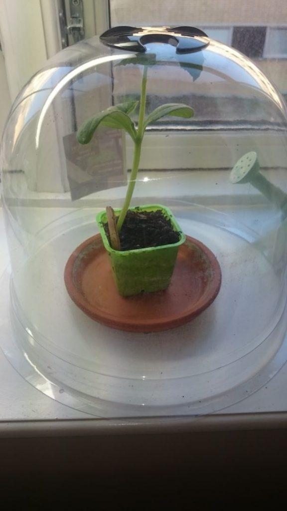 Den største agurk er blevet for stor til sin pose, og har fået en hel klokke til eget forbrug. Nu banker den dog også hovedet mod loftet her.