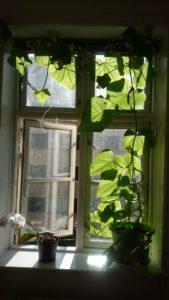 Agurken har indtaget vinduet.
